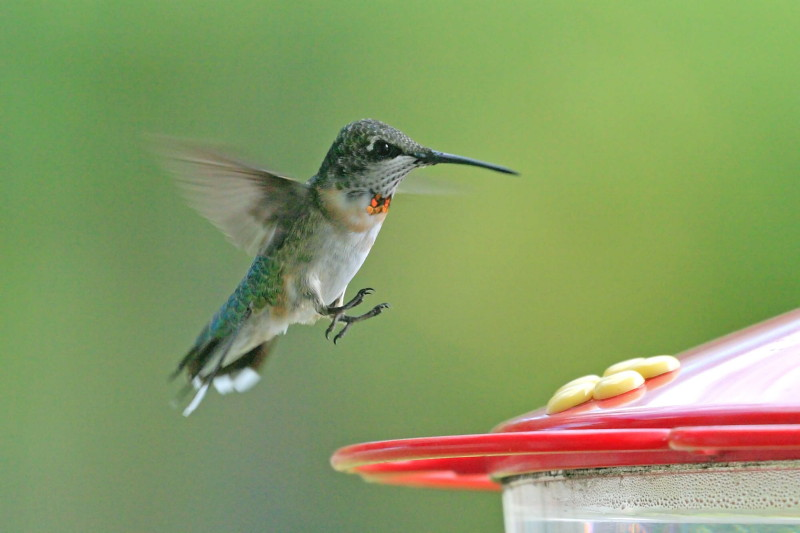 The Humming birds si...