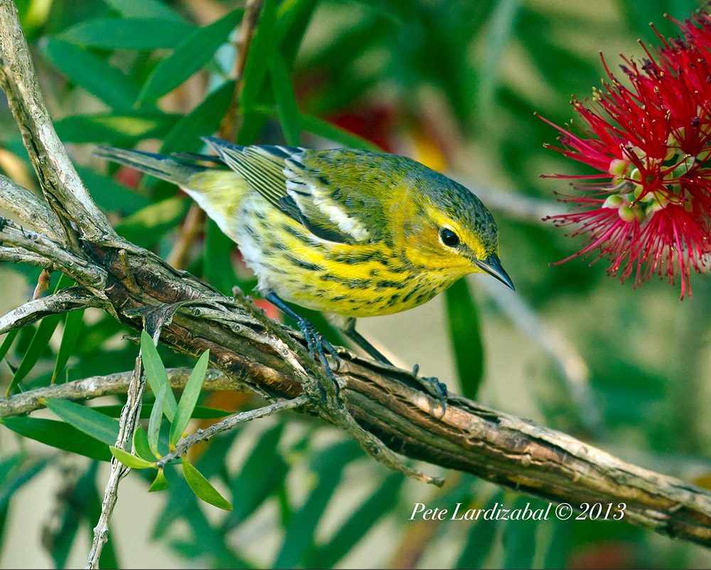 Cape May Warbler...