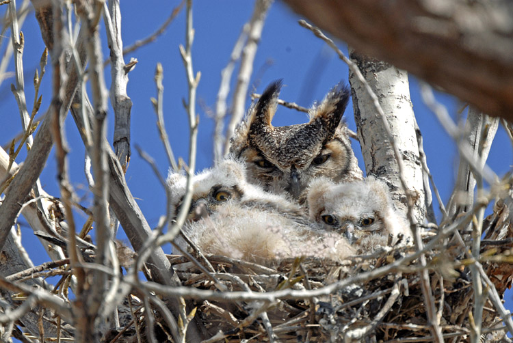 Great Horned owls...